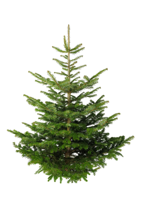 iStock 000014492347XSmall The Christmas Tree – Artificial or Real?