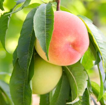The Peach Tree Battle
